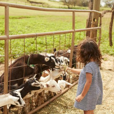 Child feeding goats in Upcountry Maui
